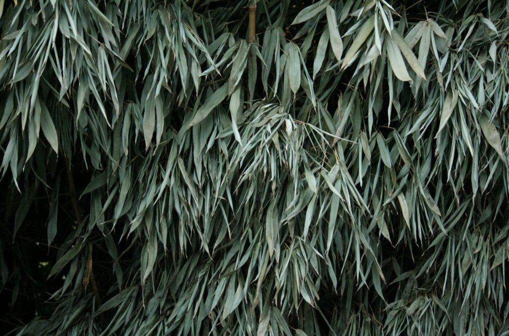 Bamboe heeft het Zwaar na Strenge Vorst