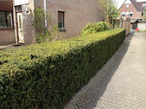 Taxus baccata als strakke haag uit de serie van Mijn Tuingeheim.