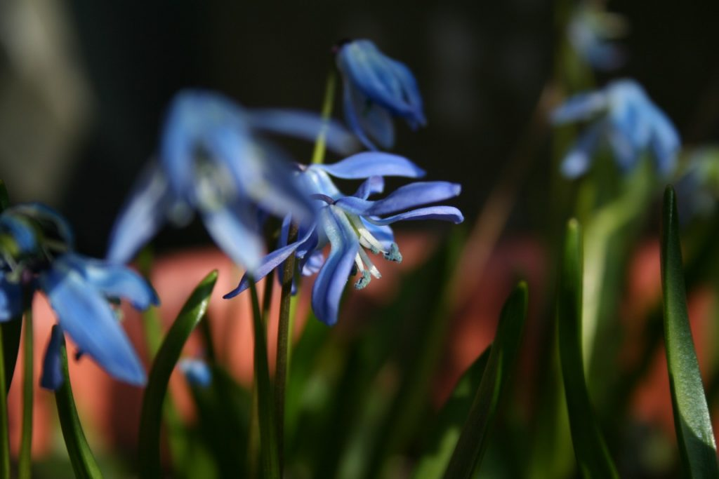 Bollen Bloeiend Voorjaar : Bloembollen geven je tuin kleur