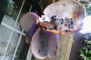 akebia quinata zaadlijsten tuincursus online