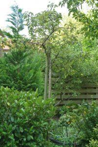 perenboom verplanten tuincursus online