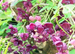 akebia quinata klimplant tuincursus online