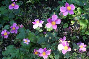 Anemone hupensis tuincursus online