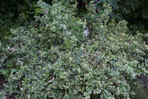 Euonymus Emerald Gaiety tuincursus online