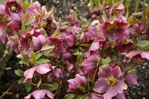 Helleborus atrorubens tuincursus online