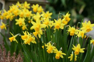Narcis tete a tete tuincursus online