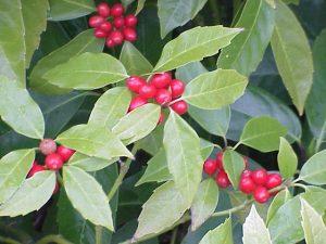 aucuba japonica schaduwplant tuincursus online