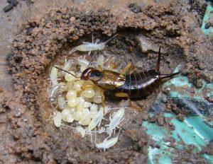 oorworm nest met eieren en jongen tuincursus online