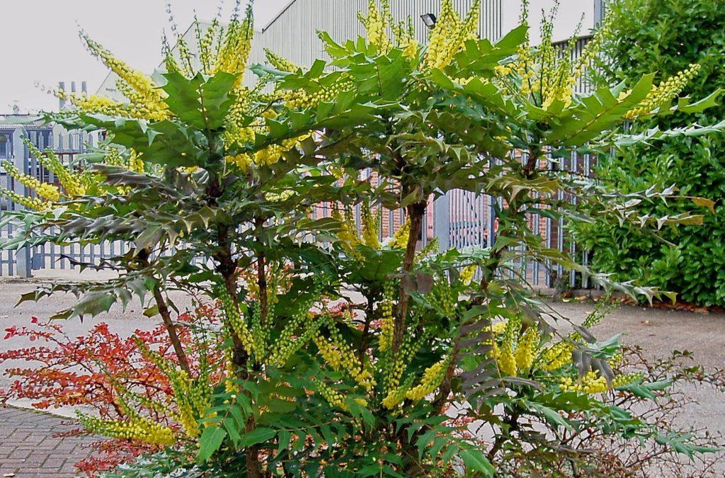 Plant van de maand Januari