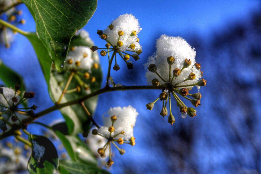 klimopbloem met sneeuw in de tuin tuincursus online