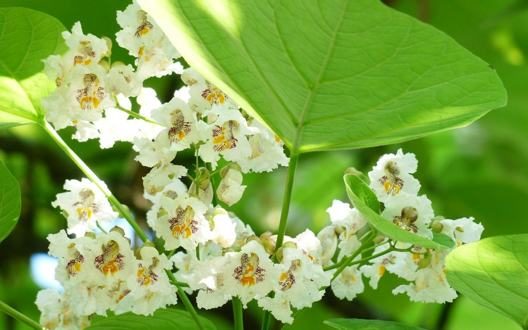 Catalpa bolboom snoeien
