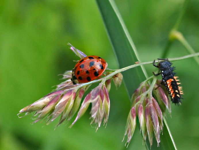 lieveheersbeestje en larve tuincursus online