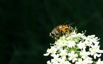 Insecten zijn onmisbaar in de tuin!