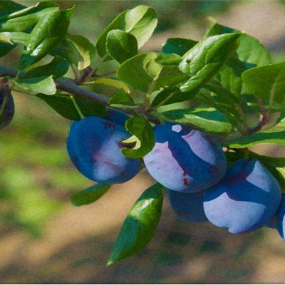 workshop pruimen en kersen snoeien tuincursus online